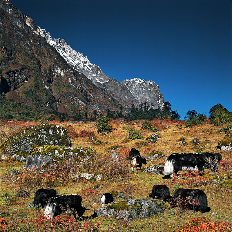 Yaks paissant dans la Yumtang Valley - Sikkim (Inde)