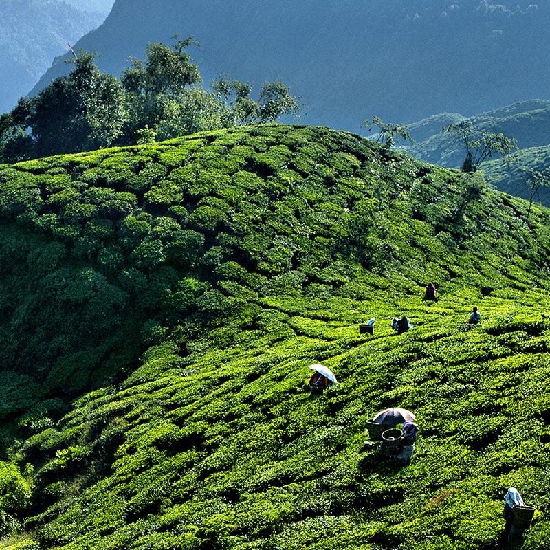 """Margareth's hope"", plantation de thé noir - Darjeeling, Inde"