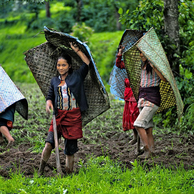 Culture d'éleusine à l'abri sous les parapluies artisanaux - Népal