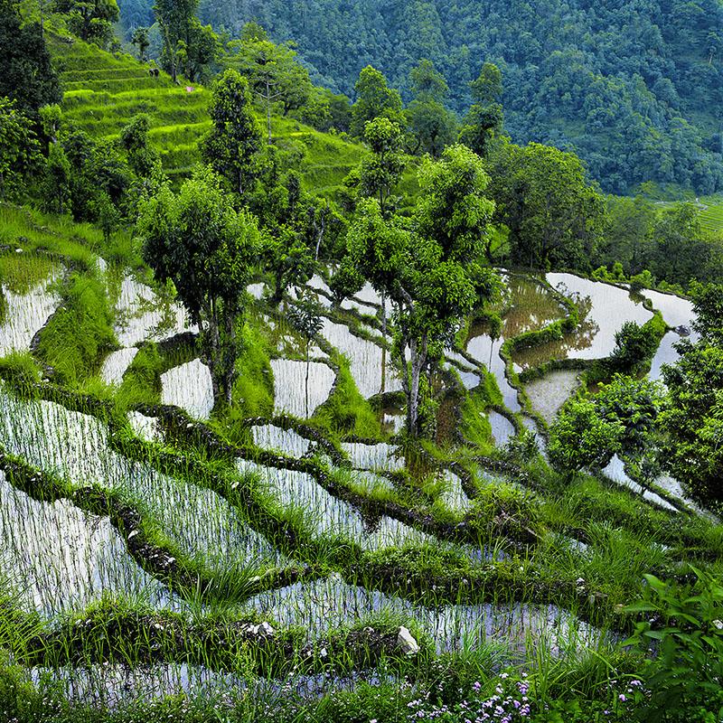 Jeux de lumières sur les rizières - Népal