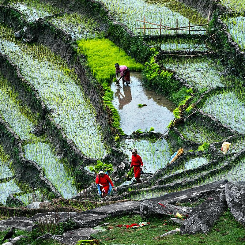 La pépinière de riz - Dolakha, Nepal
