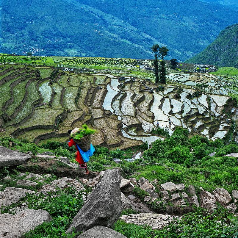 Le portage du riz à repiquer - Dolakha, Népal