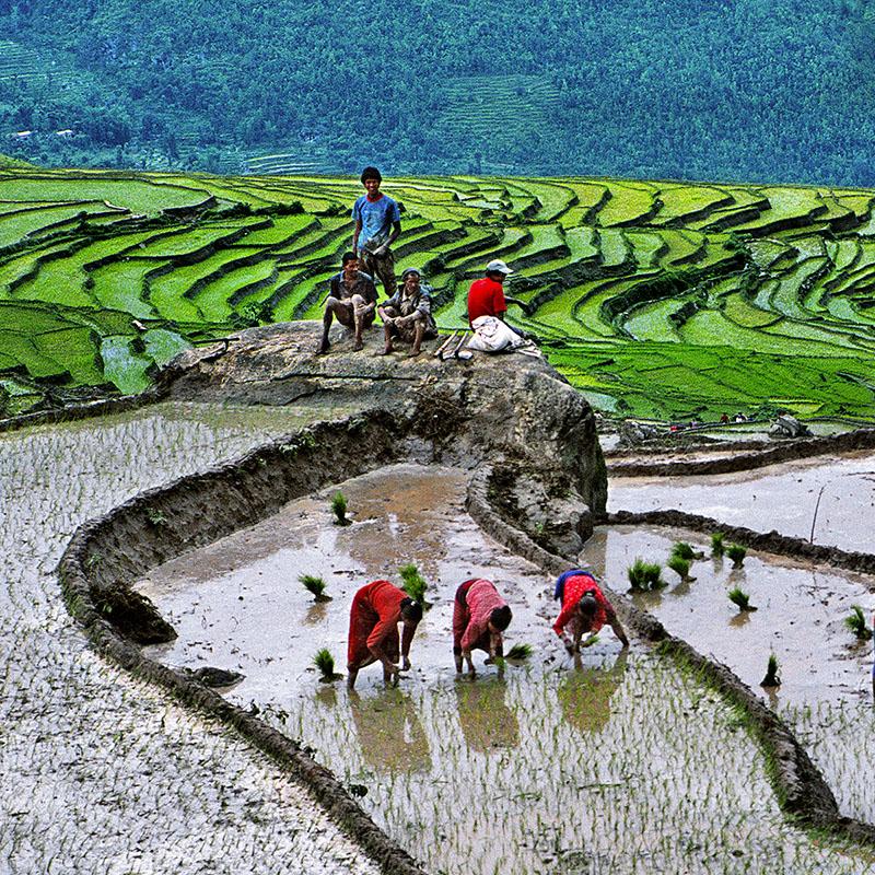 Repiquage du riz - Dolakha, Népal