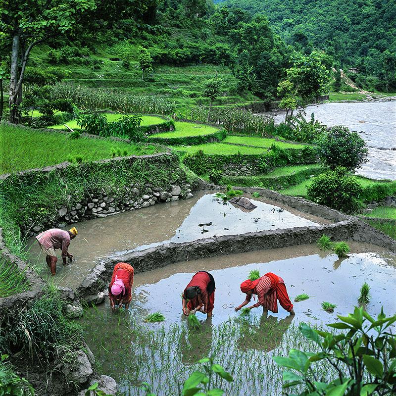 Repiquage du riz - Vallée de la Sun Koshi, Népal