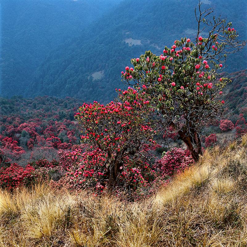 Rhododendrons - Ghorepani, 2860 m (Népal)