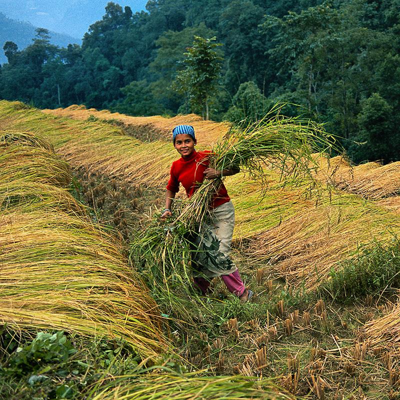 Récolte du riz - Route de Pemayangtsé, Sikkim (Inde)