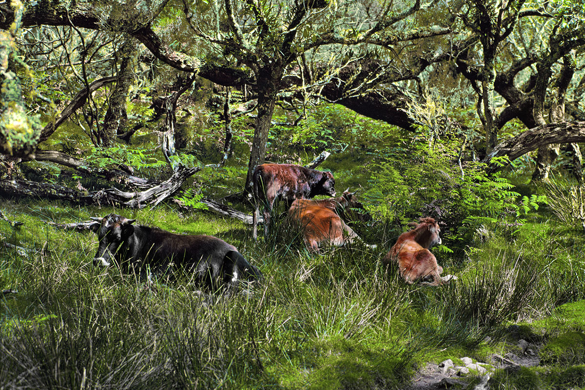 Bovins en pâture libre (1) – Plaine des Tamarins