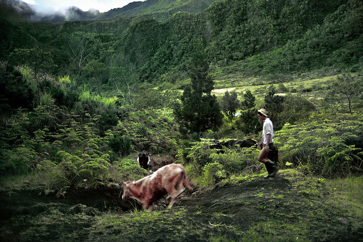Retour en fin de journée des bovins à l'exploitation - Marla
