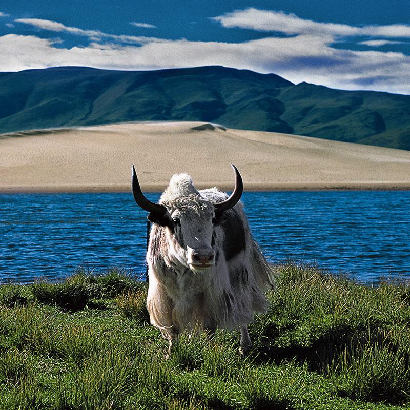 Yak et marécage - Région de Thöling - Tibet occidental